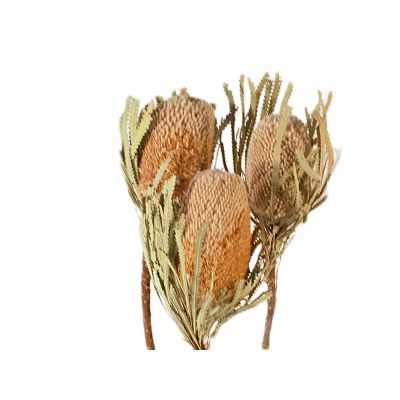Banksia Hooker natur    (150) 011254