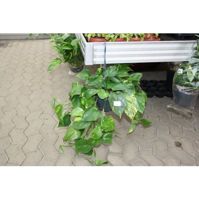 Epipremnum pinnatum hang scindapsus (epipremnum) hang terugg 028259