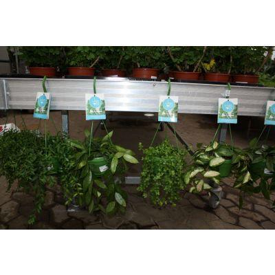 Ampelpflanzen Grünpflanzen in 4 Sorten 046082