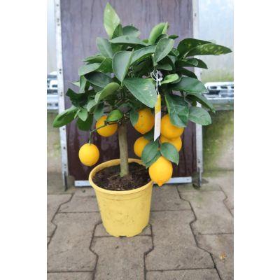 Citrus limon  Stamm 053034