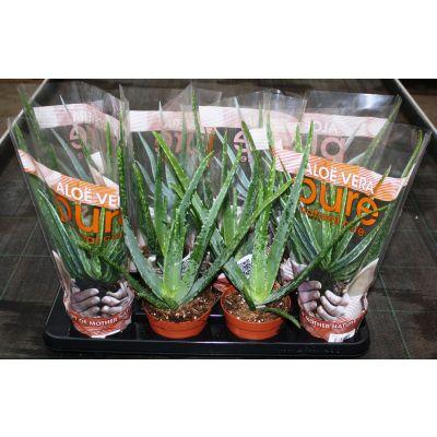 Aloe vera 056521