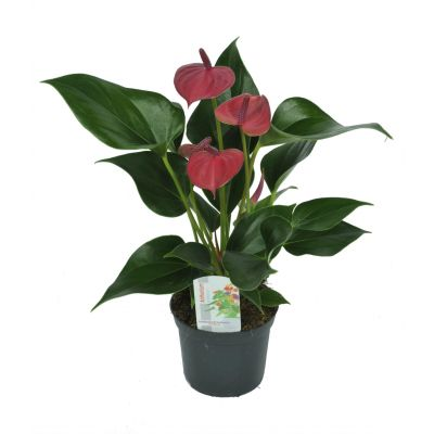 Anthurium gemischt karma - mix anthurium ? 9cm 075636