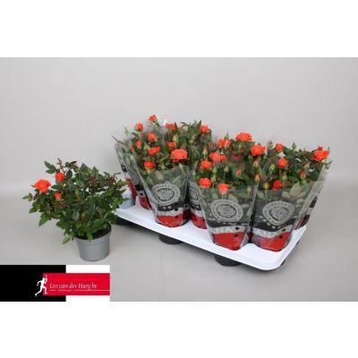 Rosa Calibra Kordana  075746