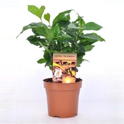 Coffea arabica coffea arabica 075749