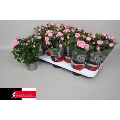 Rosa Elysium Kordana  075751