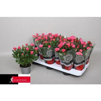 Rosa Felicitas Kordana  075765