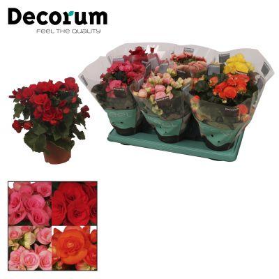 Begonia elbloemig g gemischt im tray(5 kleuren) 076771