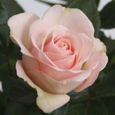 Rosa Beau Monde Artistique Light Pi Artistique Light Pink 077127