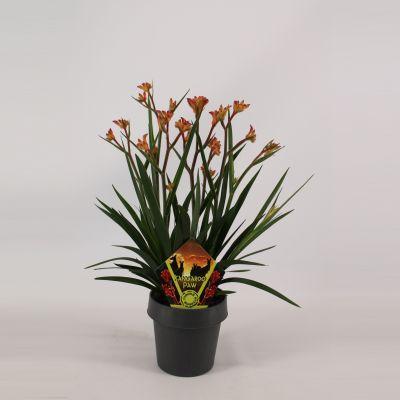 Anigozanthos sonstig beauty orange 077945
