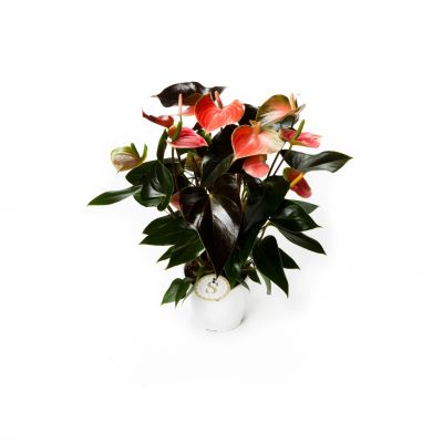 Anthurium Rainbow Champion Rainbow Champion 077974