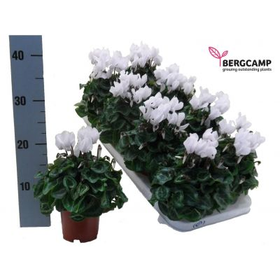 Cyclamen persicum Kleinblumig compact Weiss 082656