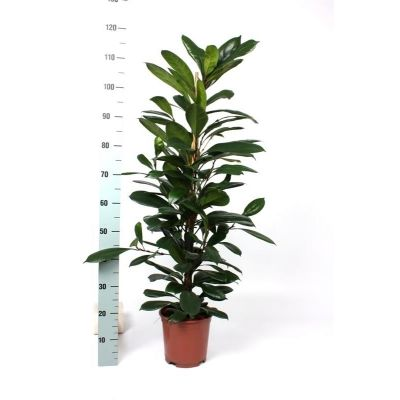 Ficus cyathistipula cyathistipula 082673