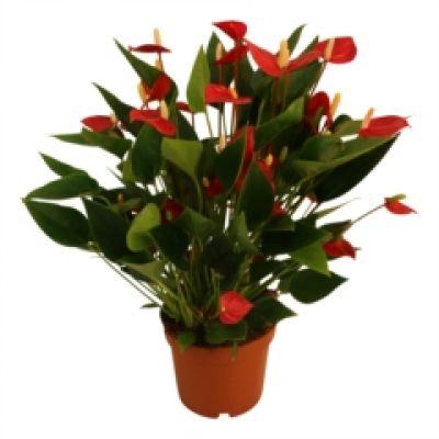 Anthurium Million Flowers Red karma 085079