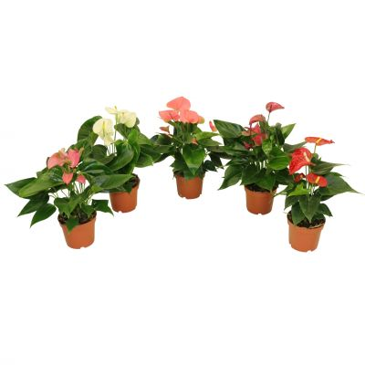 Anthurium gemischt karma - mix anthurium ? 12cm 091220