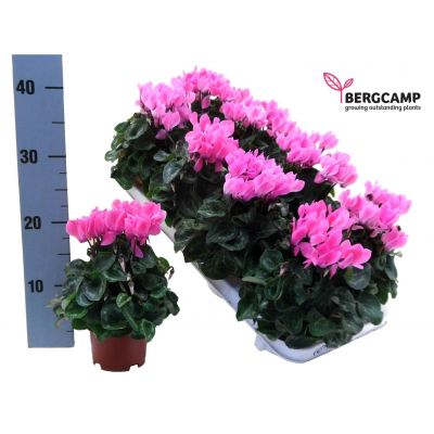 Cyclamen persicum Kleinblumig compact hell rosa 091555