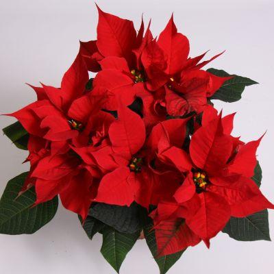 Euphorbia sonstig mini euphorbia pulcherrima selectie'ro 092178