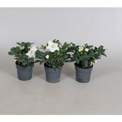 Helleborus niger Christmas Carol helleborus n. christmas carol 7cm e 092512