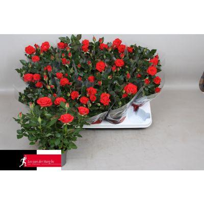 Rosa Red Mercedes Kordana Grande  093736