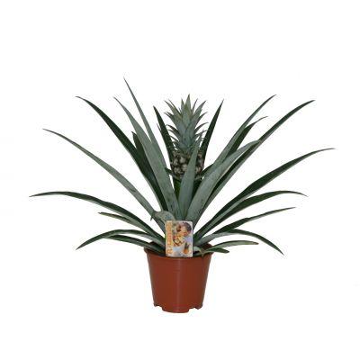 Ananas Champaca ananas essbar 093865