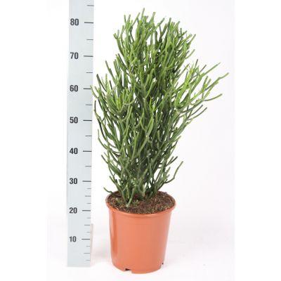 Euphorbia Tirucalli euphorbia tirucalli 094877