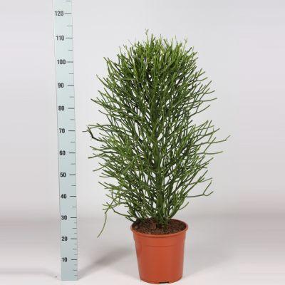Euphorbia Tirucalli euphorbia tirucalli 094878