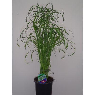 Cyperus alternifolius cyperus alternifolius 096711