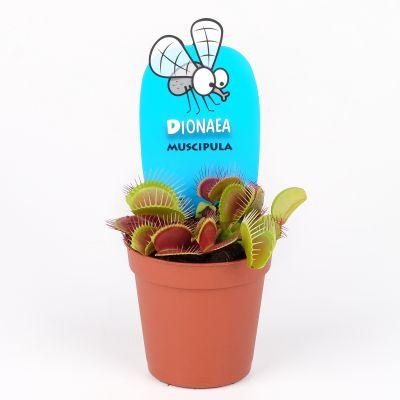 Dionaea muscipula dionaea muscipula 097685