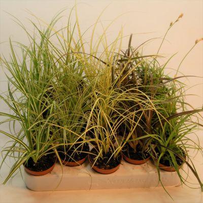 Carex gemischt carex gemischt p5,5 100285