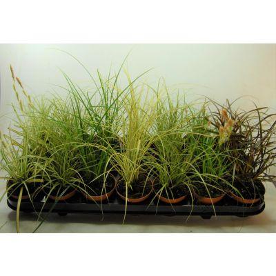 Carex carex mix p8 100286