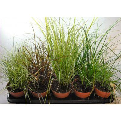 Carex carex gemischt p12 100287