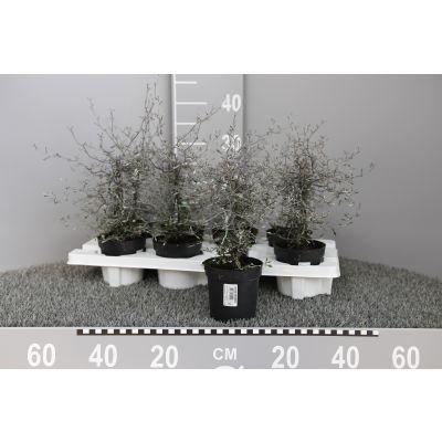 Corokia cotoneaster Zickzackstrauch 104221
