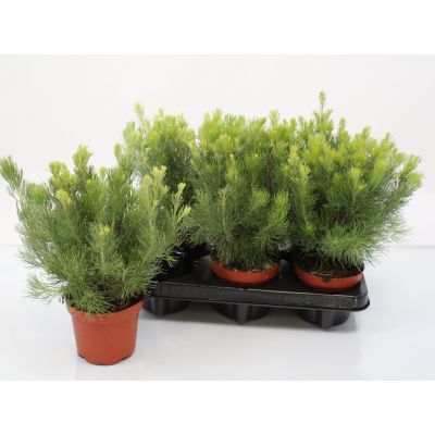 Adenanthos sericeus adenanthos sericeus woolly bush 104741