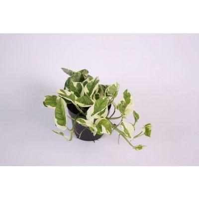 Epipremnum pinnatum NJoy scindapsus (epipremnum) n'joy 105775