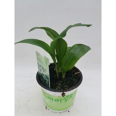 Bärlauch - Waldknoblauch Allium ursinum Gismo 107684