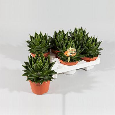 Aloe Cosmo  109031