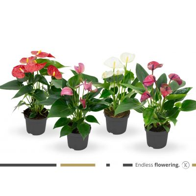 Anthurium gemischt 4 f karma - mix anthurium? 9cm 109033