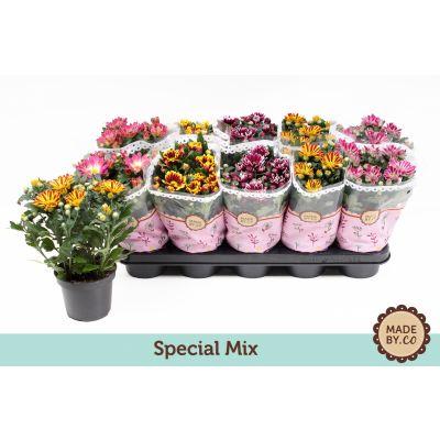 Chrysanthemum Indicum special mix 109047