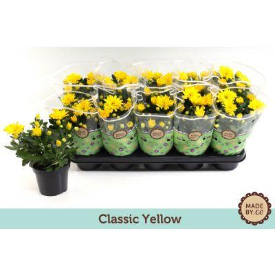 Chrysanthemum Tapas Time classic yellow 109051