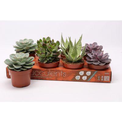 Succulenten gemischt 4 Sorten mix 12 pure 109082