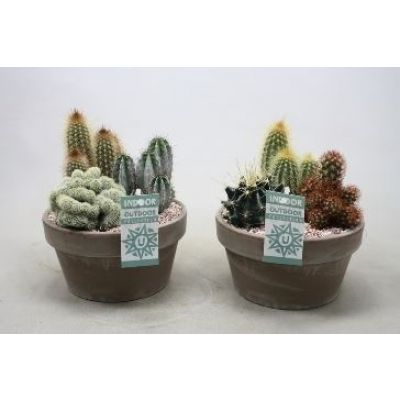 Cactus Arrangement 3er Arrangement 110773