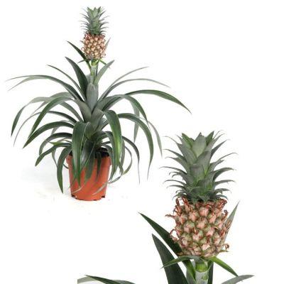 Ananas corona  111154