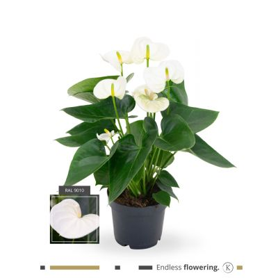 Anthurium Anthedesia White karma - white 12cm 111155
