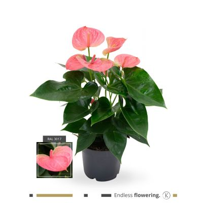 Anthurium Cherry Love Improved karma - pink (grandi) 111156