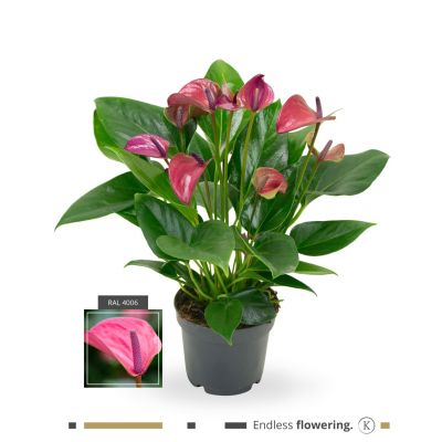 Anthurium Karma Purple karma (multi) 111158