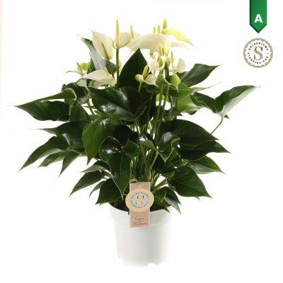 Anthurium White Champion  111171