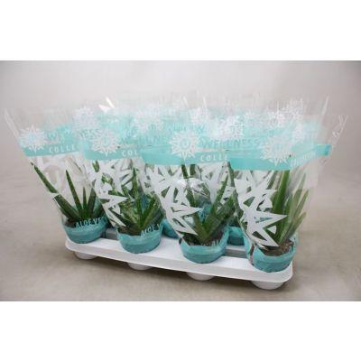 Aloe vera aloe vera 10,5cm 111797