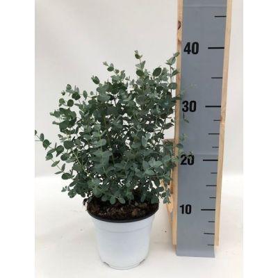 Eucalyptus gunnii eucalyptus gunnii 112829