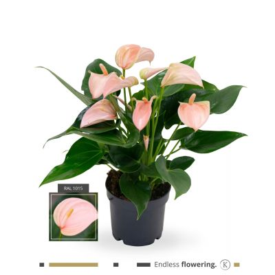 Anthurium Joli Peach karma - joli peach (multi) anthuriu 116051