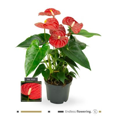 Anthurium Karma Red karma - red 12cm 116052