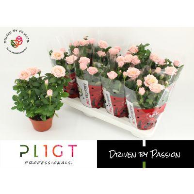 Rosa Amorosa Infinity Soft Pink potroos infinity princess p14 amoro 117080